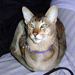 Oriental Shorthair in a purple collar