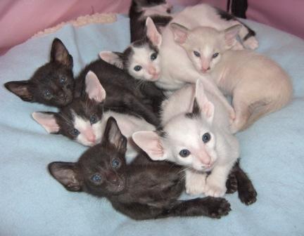 Oriental Shorthair kittens wallpaper