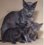 Oriental Shorthair mom and babies