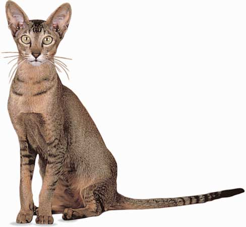 Oriental Shorthair portrait wallpaper