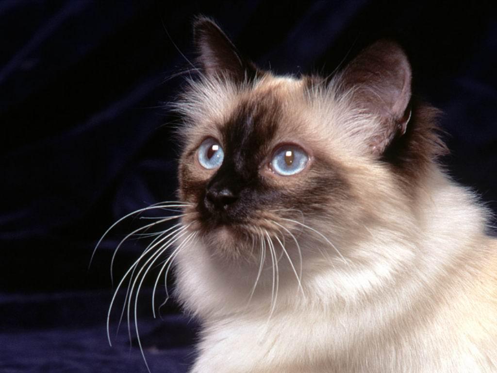 Задумчивая Бирманская кошка фото