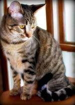 Pensive California Spangled Cat
