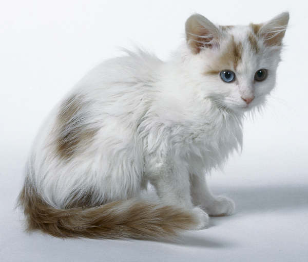 Pensive Turkish Van wallpaper