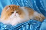 Персидский кот на голубом фоне