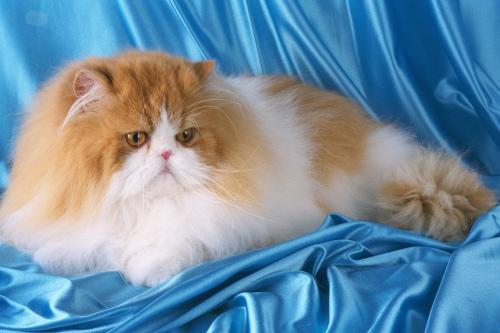Персидский кот на голубом фоне фото