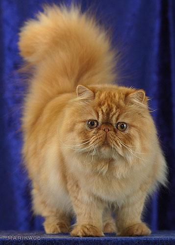 Персидский кот смотрит на вас фото