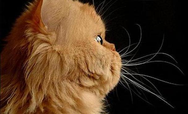 Persian Cat Wallpaper