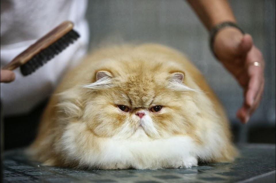 Уход за волосами Персидского кота фото