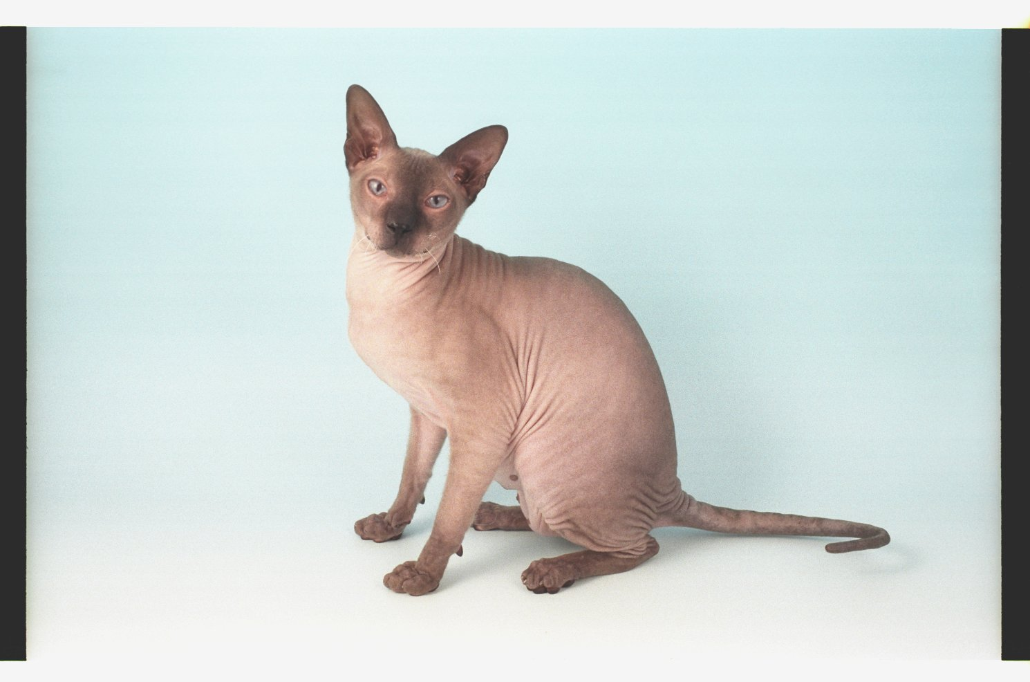 Peterbald blue background wallpaper