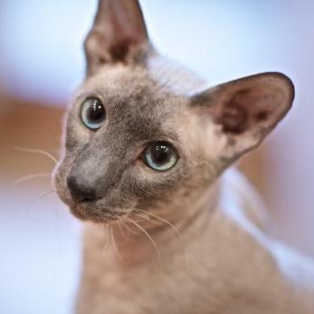 Морда кота породы Петерболд фото