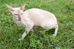 Peterbald on the grass
