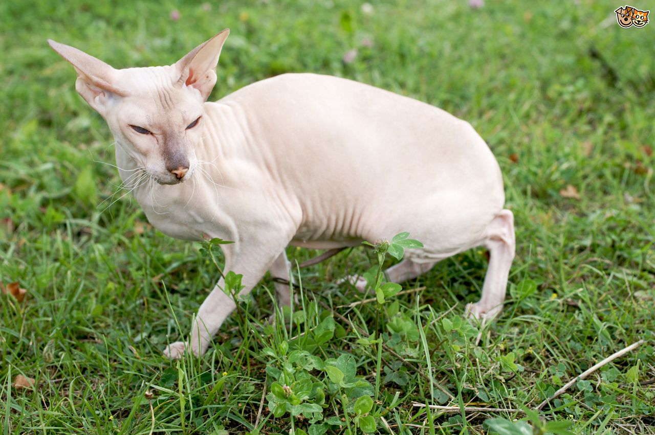 Peterbald on the grass wallpaper