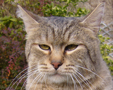 Морда кота породы Пиксибоб фото