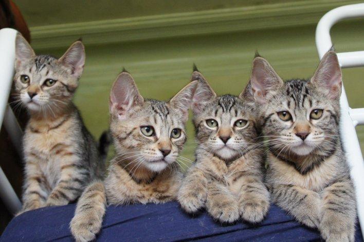 Pixie-bob kittens wallpaper
