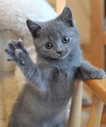 Playful Chartreux kitten