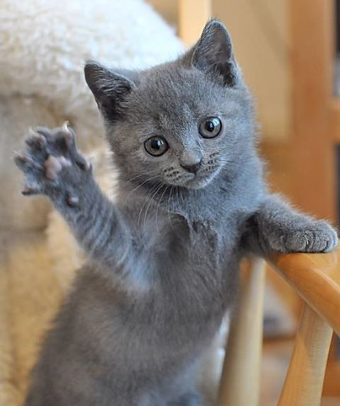 Playful Chartreux kitten wallpaper