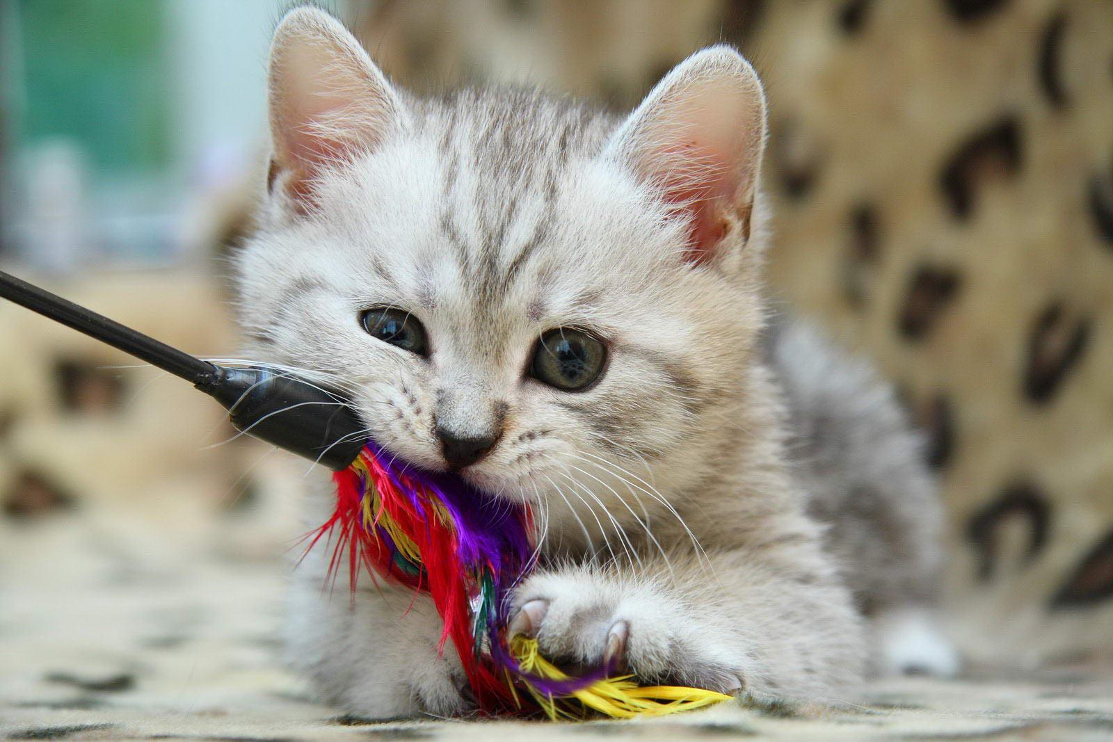 Британская короткошерстная кошка играет фото