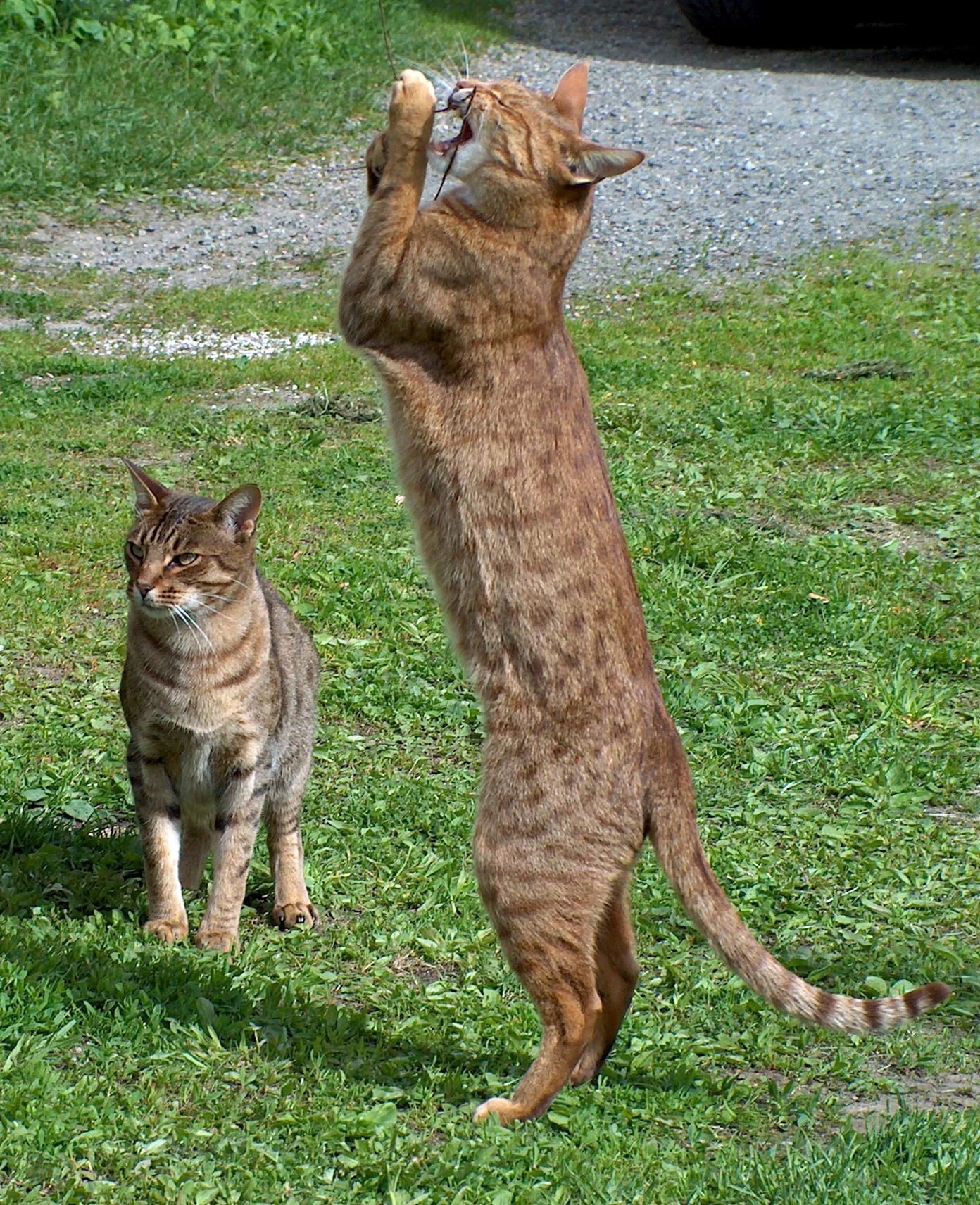 Playing Ocicat cats wallpaper