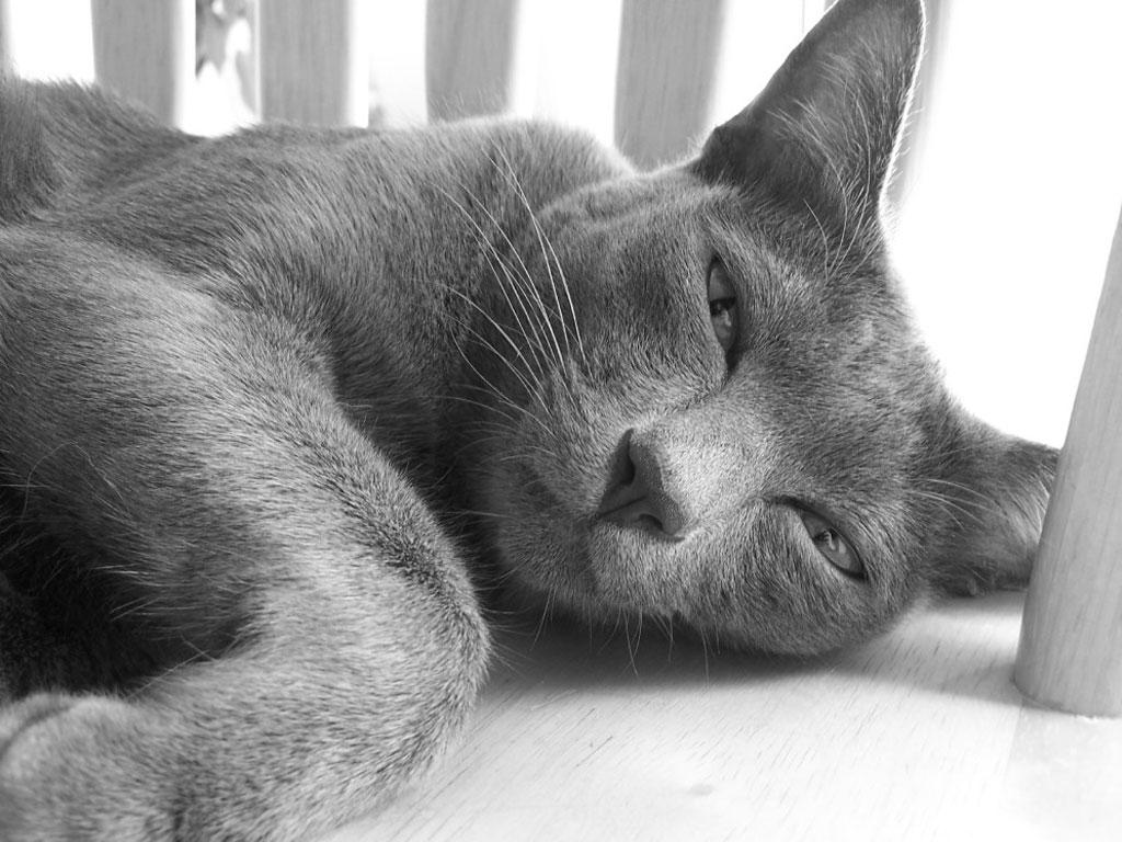 Довольный кот Корат фото