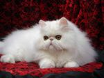 Posh Persian cat