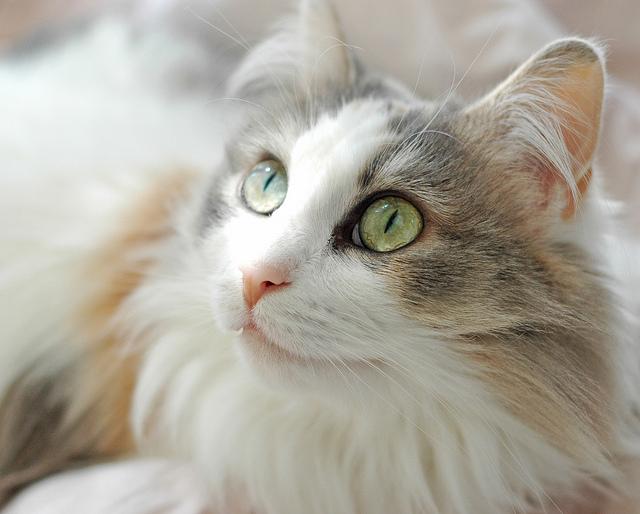 Морда кота породы Рагамаффин фото