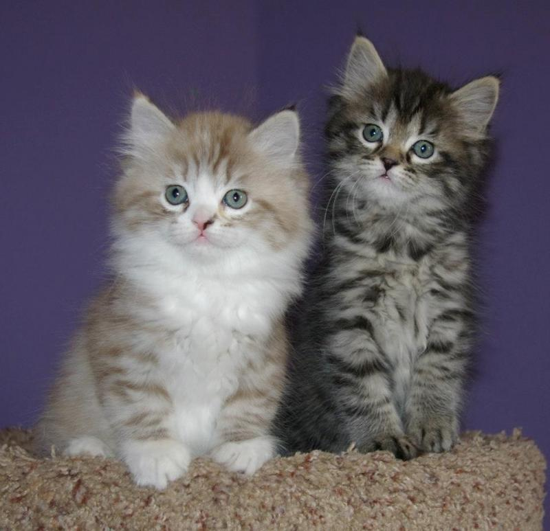 Ragamuffin kittens wallpaper