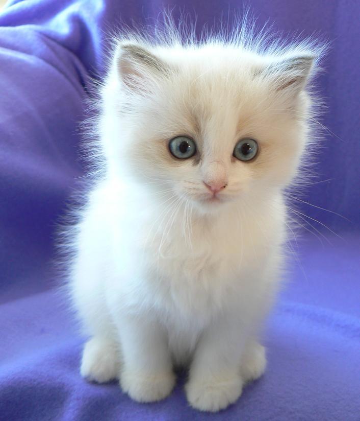 Котенок породы Рэгдолл фото