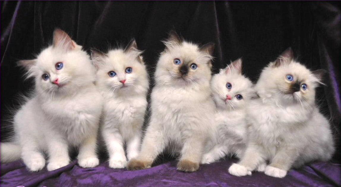 Котята породы Рэгдолл фото