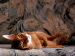 Resting Abyssinian cat