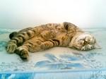 Resting American Bobtail