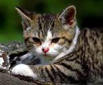Resting American Wirehair kitten