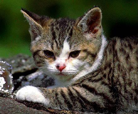 Resting American Wirehair kitten wallpaper