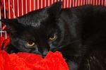Бомбейская кошка отдыхает