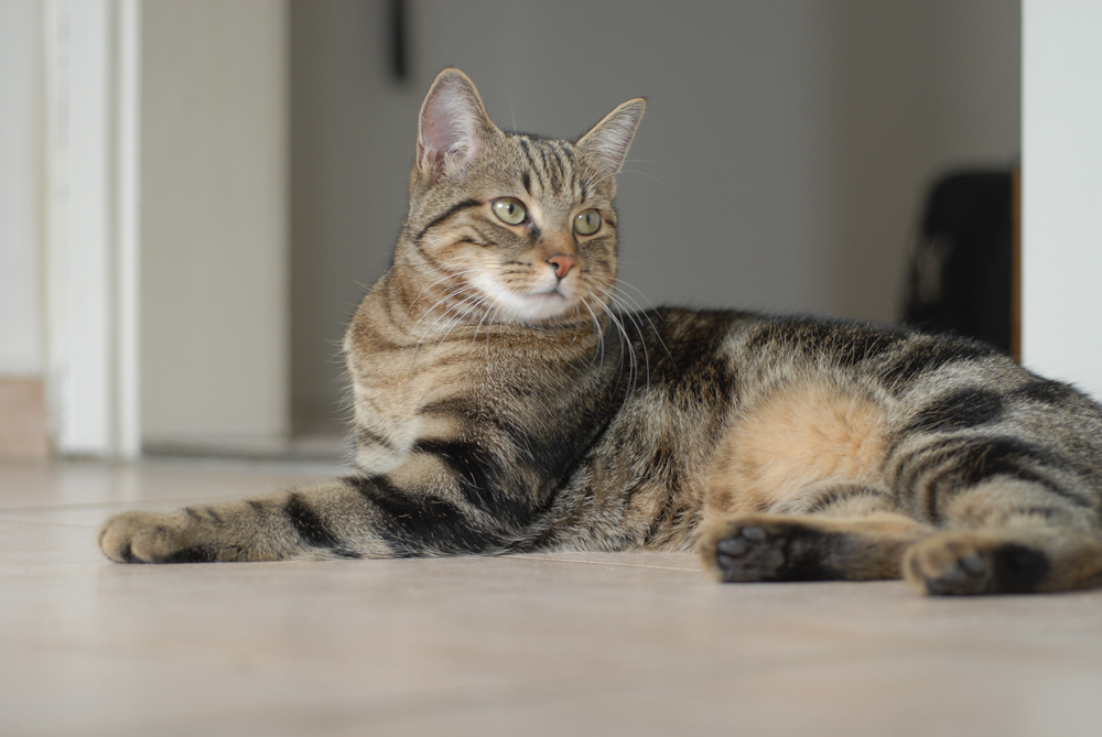 Resting European Shorthair wallpaper