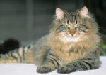 Resting Norwegian Forest Cat