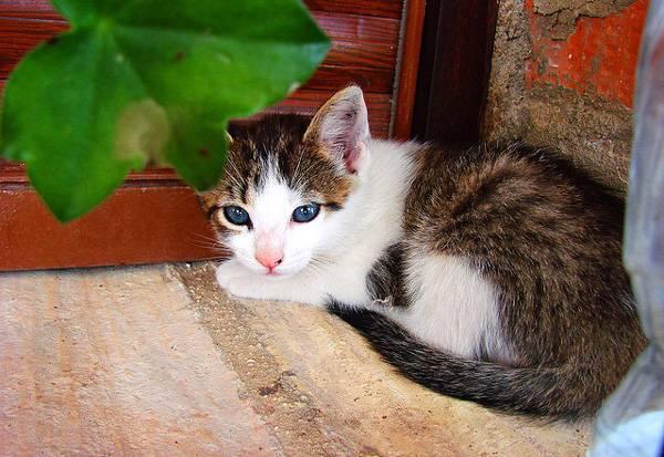 Котенок породы Охос Азулес отдыхает фото