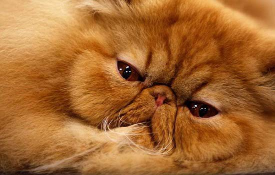 Resting Persian cat wallpaper