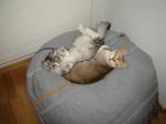 Resting Singapura kittens
