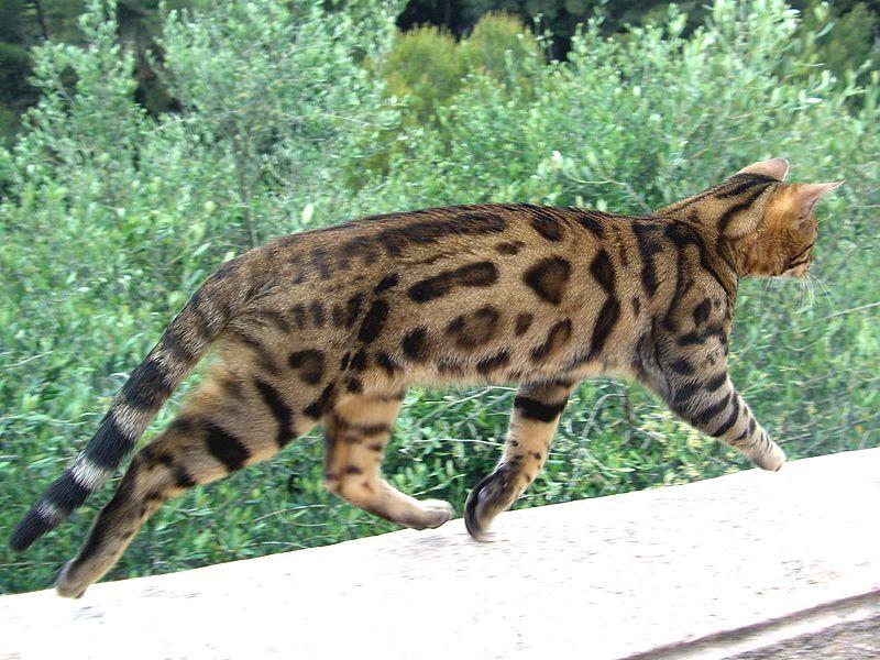 Бенгальская кошка бежит фото