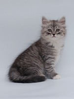 Russian Black, White or Tabby kitten
