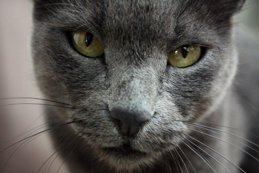 Морда Русской голубой кошки фото