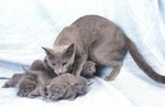 Russian Blue family