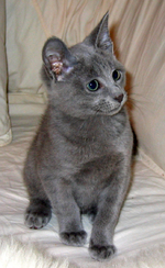 Russian Blue kitten on a bed