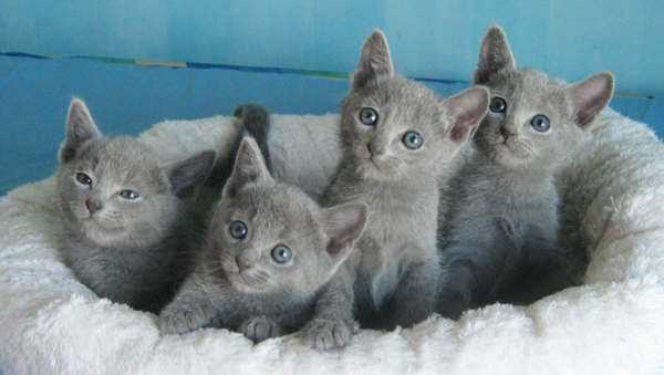 Russian Blue kittens wallpaper