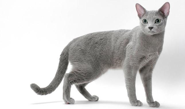 Портрет Русской голубой кошки фото