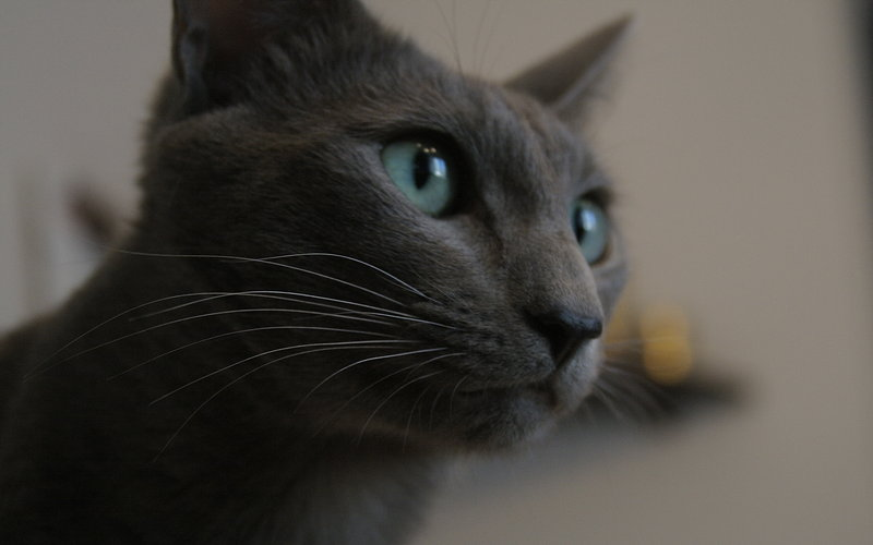 Russian Blue watching wallpaper