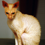 Sadly Cornish Rex