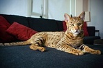Savannah cat on a couch