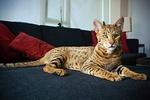 Кот Саванна на диване