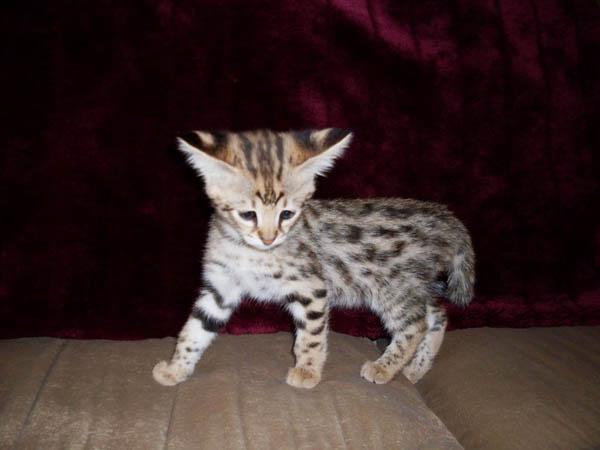 Savannah kitten wallpaper